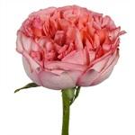 Bleeding Heart Garden Rose Side Stem View