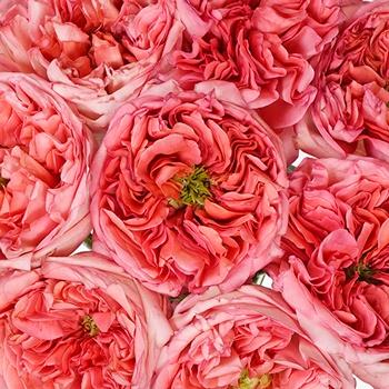 Bleeding Heart Garden Roses up close