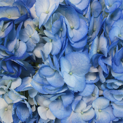 Blue Airbrushed Hydrangea Wholesale Flower Up close