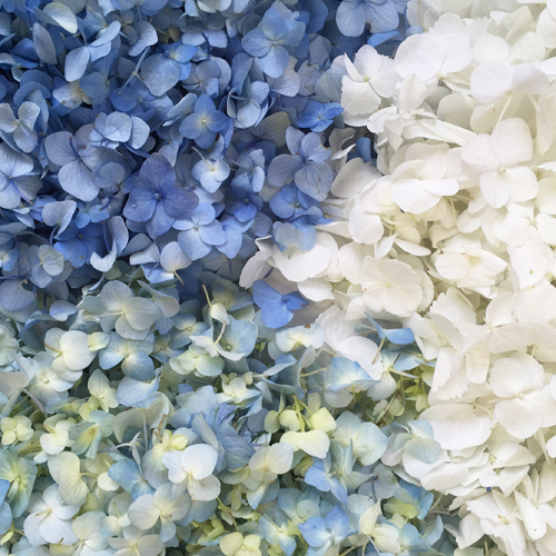 Blue and White Hydrangea Flower Petals