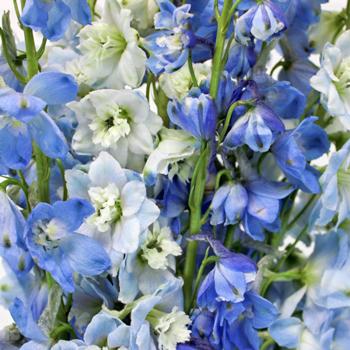 Delphinium Blue Assorted Wholesale Flower Up close