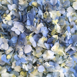 Blue Bliss Hydrangea Flower Petals Bulk