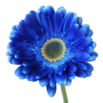Gerbera Daisy Blue Enhanced Wholesale Flower Up close