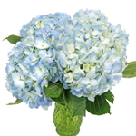 Blue Hydrangea Flowers Up Close