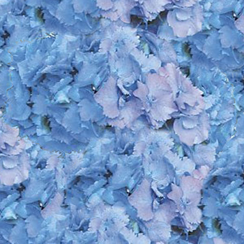 Blue Hydrangea Wholesale Flower Up close