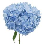 Jumbo Blue Hydrangea Stem View