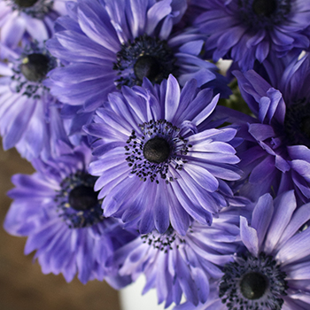 Delicate Blue Star Anemones
