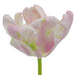 Blush Air Parrot Tulips Wholesale Flower Side Stem