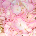 Blush Enhanced Hydrangea Flower Up Close