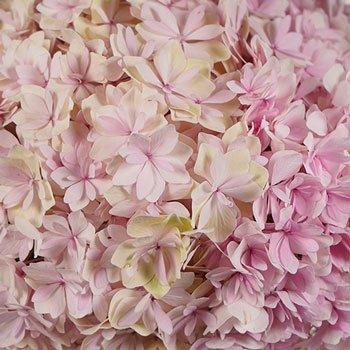 Blush Hydrangea Wholesale Flower Up close