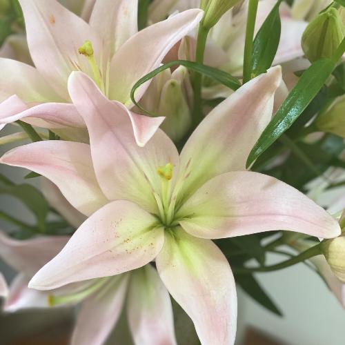 Blush Hybrid Lily