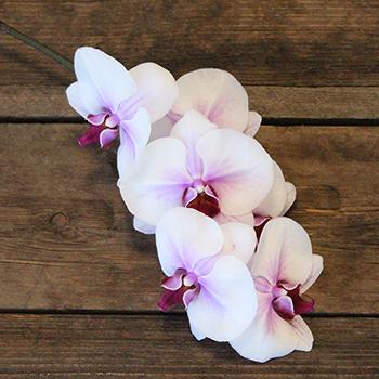 Blush Princess Phalaenopsis Orchid Flower