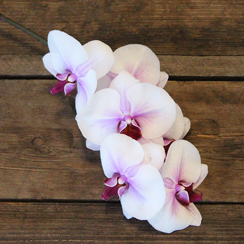 Blush Princess Phalaenopsis Orchid Flower