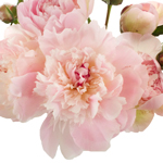 Blush Pink Alertie Peonies up close