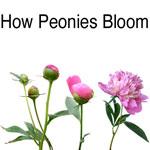 Blush Pink Alertie How Peonies Bloom