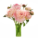 Blush Pink Alertie Peony in a vase