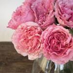 Blush Pink Garden Rose Bunch Close Up