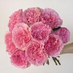 Blush Pink Garden Wholesale Rose Bunch in a hand
