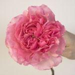 Blush Pink Garden Rose Stem