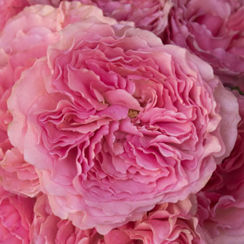 Blush Pink Garden Roses up close