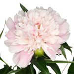 Blush Pink Gardenia Peony Stem