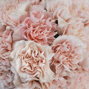 Blush Pink Marlo Wholesale Carnations Up close