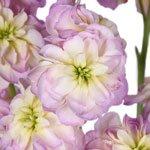 Blush Spray Stock Wholesale Flower Upclose