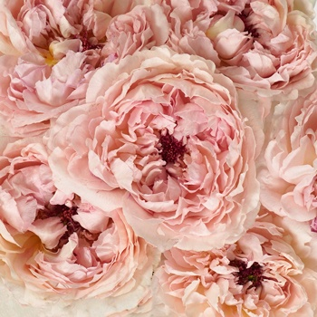 Blushing Button Garden Roses up close