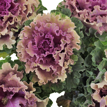 Ruffled Rose Kale Flower