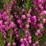 Heather Flower Sunset
