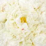 Bowl of Cream Peonies up close