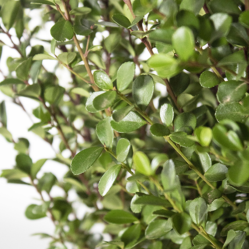 Boxwood DIY wedding greens