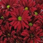 Burgundy Bulk Novelty Daisy Flower