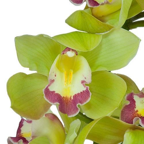 Light Green Cymbidium Orchids Hot Pink Lip