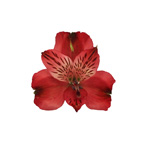Brick Red alstroemeria Wholesale Bloom