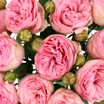 Bridal Pink Peony Roses up close