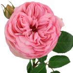 Bridal Pink Peony Rose Stem up close