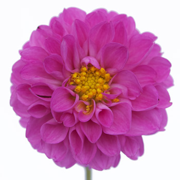 Bright Lavender Button Dahlia Flower