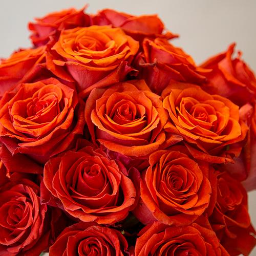 Fire Orange Santana Rose