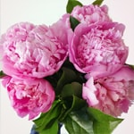 Fresh Pink Peony Flowers Mothers Day