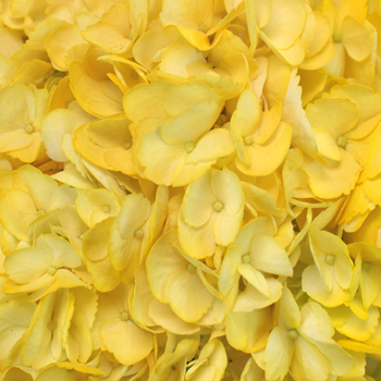 Bright Yellow Airbrushed Hydrangea Wholesale Flower Up close