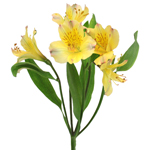 Bright Yellow Alstroemeria Flower Stem View