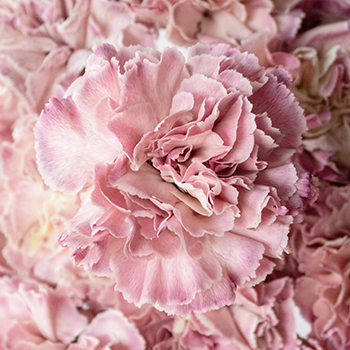 Broly Light Pink Carnation Flowers Up Close