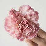 Broly Light Pink Carnations side stem