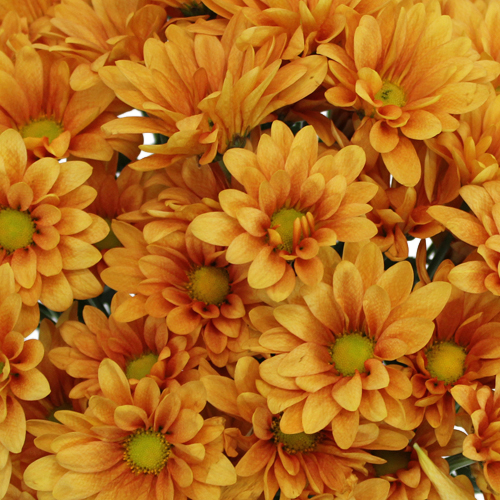 Sherbet Orange Daisy Flower