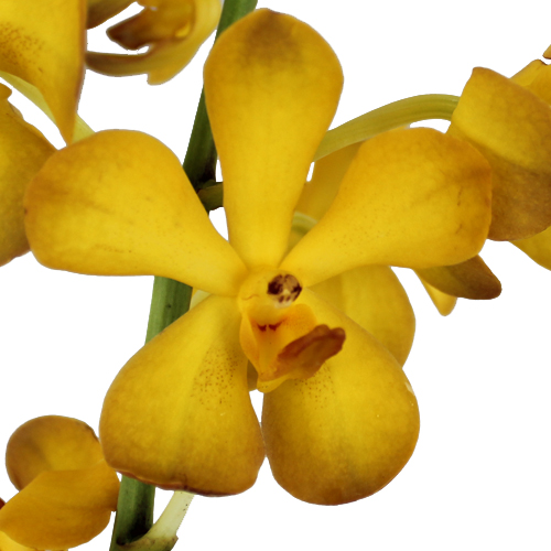 Amber Yellow Mokara Orchid
