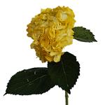 Bronze Yellow Enhanced Hydrangea Stem View