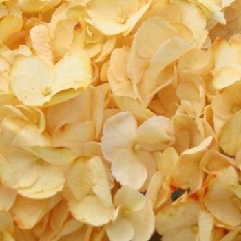 Bronze Yellow Enhanced Hydrangea Flower Up Close