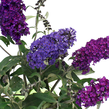 Purple Ombre Fall Buddleia Flowers