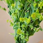 Wedding greenery bupleurum flowering filler sold near me